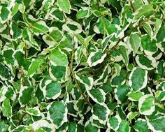 Ficus pumila [repens] Snowflake