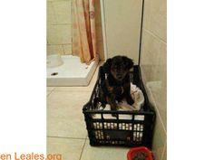 Perros encontrados  España  Las Palmas - Gran Canaria  Ingenio March 01 2018 at 09:40PM   GRAN CANARIA  #PERDIDO #ENCONTRADO  Contacto y Info: https://leales.org/perdidos-o-encontrados/perros-encontrados_1/gran-canaria_i3532 #Difunde en #LealesOrg un #adopta y sé #acogida para #AdoptaNoCompres O un #SeBusca de #perro o #gatos ℹ ENCONTRADA EN INGENIO Esta cachorrita de unos 2-3 meses sin collar y bien cuidada ha sido encontrada el 28 de febrero de 2018 en las inmediaciones del barranco de la…