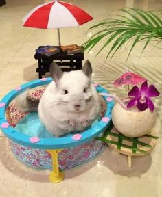 Summer Chinchilla (Image via BuBu)