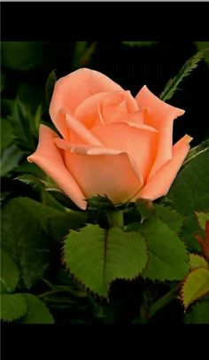 If you are thinking of rose gardening don't let this rumor stop you. While rose gardening can prove to be challenging, once you get the hang of it, it really isn't that bad.