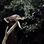 Pay up, or the bird gets it. (A hoatzin perches on a branch in Yasuni National Park.) by npr: Ecuador's Yasuni National Park is one of the most diverse ecosystems on Earth. But there's a complication: The park sits on top of the equivalent of millions of barrels of oil.  This creates a dilemma. Listen to the story. ##Yasuni_National_Park #Oil
