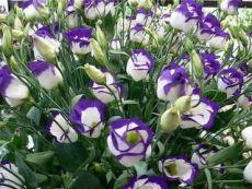 Эустома украсит ваш сад Эустома – очень привлекательное растение с сизыми, словно покрытыми воском, листьями и крупными воронковидными простыми или махровыми цветками нежных оттенков. Цветки у эустомы крупноцветковой достигают 7–8 см в диаметре. Они бывают самой разной окраски – белые, розовые, лиловые, фиолетовые, белые с цветной каймой и т. д. Полураспустившиеся цветки похожи на бутоны роз, а когда раскроются полностью – на крупные маки. Стебли у эустомы прочные, 80–90 см в высоту…