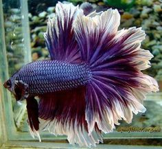 Types of Betta Fish - There are lots of different types of betta fish and this article covers them in detail including breeds, patterns, colors, tail differentiation and more. #TypesofBettaFish #ROSETAILBETTAFISH