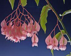 Le Tamaya ou begonia maculata est une plante d'intérieur facile d'entretien. Rempotage et taille, arrosage et engrais, voici tous les conseils pour votre tamaya