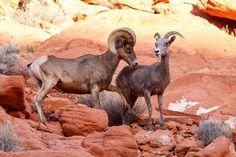 Courtship       Desert Big Horn Sheep  Valley Of Fire State Park Overton, Nevada
