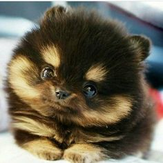 The cutest face, fluffy hair and tiny paws   By unknown  #dog #puppy #cute #instagood #dogsitting #photooftheday #dogsofinstagram #ilovemydog #instagramdogs #nature #dogstagram #lovedogs #lovepuppies #adorable #doglover #instapuppy #instadog #animals #animal #pet #dog #dogs #photooftheday #cute #pets #instagood #animales #love #animallovers #petstagram