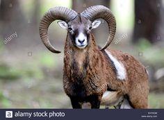 mufflon-animal-ram-aries-ram-mountain-ovis-ammon-musimon-winter-coat-EHYKDM.jpg (1300×955)