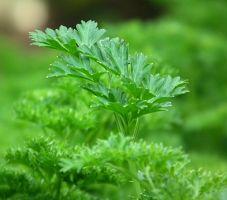 ما هي فوائد الجرجير للجسم للتنحيف للشعر للحامل Herbs Best Herbs To Grow Growing Herbs Indoors