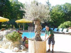 Sommer! Und der Olivenbaum genießt ihn auch in vollen Zügen. #Sommer #Olivenbaum #HotelimPark