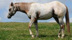POA - Pony of the Americas – Welt der Pferde Pretty Horses, Beautiful Horses, Pony Breeds, Mini Pony, Appaloosa, Working Dogs, Animals And Pets, Heart Land, America