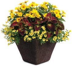 Superbells saffron claibrachoa 1, colorblaze dipt in wine coleus 1, tuscan sun perrenial sunflower heliopsis 1