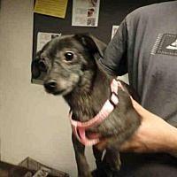 Chatsworth, California - Chihuahua. Meet DAISY, a for adoption. https://www.adoptapet.com/pet/20668213-chatsworth-california-chihuahua-mix