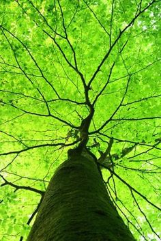 Tall green tree photo - looking up into the tree with luscious leaves.jpg.    It looks like one giant leaf!!!