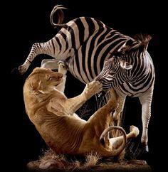 Lioness Grabbing Zebra by Nose