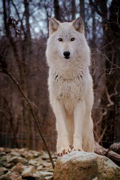 Wolf by Jamie Cournoyer