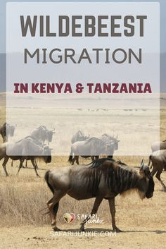 Plan safari to Tanzania or Kenya at the right time if you dont want to miss wildebeest migration.