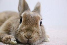Ichigo san 448 いちごさんうさぎ rabbit bunny netherland dwarf brown cute pet family ichigo ネザーランドドワーフ ペット いちご うさぎ
