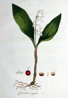 Flora Batava, Volume 1 (1800) Convallaria majalis