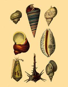 Vintage seashells art print Antique prints Wall art Ocean life art Vintage decor Marine art print Nature art print 8x10 prints Victorian art