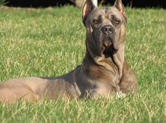 Red Cane Corso - #dogs