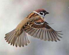 Part of my next tattoo, Eurasian Tree Sparrow. Pretty Birds, Beautiful Birds, Sparrow Bird, Bird Artwork, Paper Birds, Tier Fotos, Bird Drawings, Bird Pictures, Small Birds