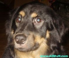 Chow Chow Rottweiler mix Chow Chow Mix, Black Tongue, Rottweiler Mix, Best Dogs, Tans, Cute, Animals, Sun Tanning, Animales
