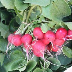 Graines de radis raxe rond rouge bio à 3.50 € le paquet sur www.semences-bio.com