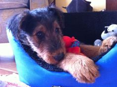 She was the cutest Puppy - Poppy Airedale