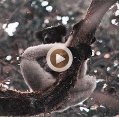 Vídeo 43 Madagascar – Buscando al indri en la reserva de Analamazaotra