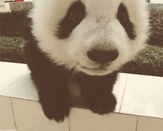 Desiigner Panda Animals Giff #1701 - Funny Panda Giffs| Funny Giffs| Panda Giffs