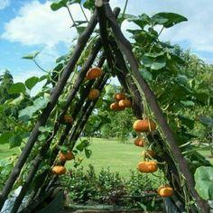 Growing pumpkins on a trellis to develop uniform color and shape.