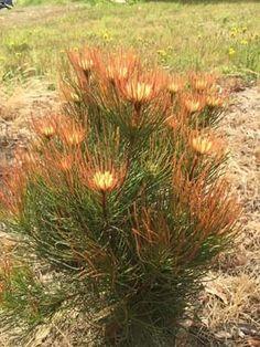 Proteaceae | Protea Plants | Aulax | Aulax Bronze Haze | Bronze Haze
