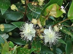Myrtle (Common Myrtle; True Myrtle; Sweet Myrtle)