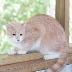 Buffy - located at Wetzel County Animal Shelter in New Martinsville, West Virginia - Young Spayed Female Domestic SH - Buffy is under a year old. She is very sweet, but cautious.