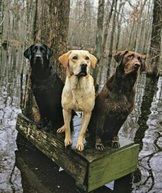Mind Blowing Facts About Labrador Retrievers And Ideas. Amazing Facts About Labrador Retrievers And Ideas. Amor Animal, Mundo Animal, Yorkshire Terrier, Perro Labrador Retriever, Chocolate Labrador Retriever, Labrador Puppies, Retriever Puppies, Corgi Puppies, I Love Dogs