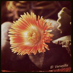 Flor de pata de elefante