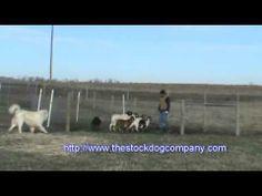 Australian Kelpie Goat Herding Training - http://www.baubaunews.com/bau-blog/australian-kelpie-goat-herding-training/ http://img.youtube.com/vi/mbJqB0QAMHw/0.jpg