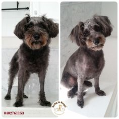 Murphy🌺 She is a Schnoodle (Schnauzer x Poodle), 2.5 years young. Full Groom Service. Website: https://rattytoregal.wixsite.com/rattytoregal Facebook: https://www.facebook.com/rattytoregal/
