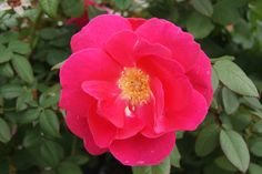 Winnepeg Parks is a cold hardy shrub rose with cherry pink flowers.