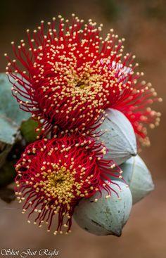 Amazingly beautiful flowers Rose Mallee(Eucalyptus Rhodanthas) – Famous Last Words