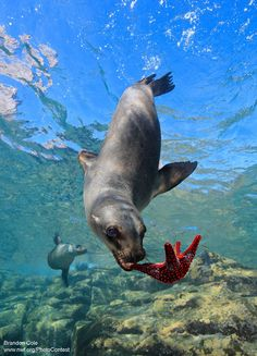 One California Sea Lion Plays With Colorful Sea Star Underwater by Brandon Cole Marine Conservation, Silly Dogs, Oceans Of The World, Underwater World, Underwater Animals, Sea And Ocean, Sea World, Underwater Photography, Ocean Life