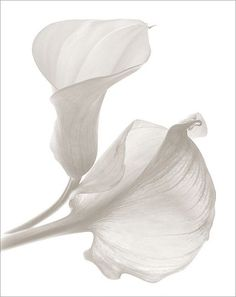 ideas black and white nature photography flowers calla lilies Nature Photography Flowers, Fruit Photography, White Photography, Flowers Nature, Nature Plants, Abstract Photography, Color Photography, Photography Ideas, Travel Photography