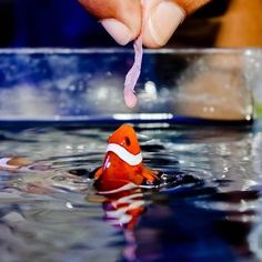 One of our favorite photos. Do you hand feed your fish? #marinedepot #happyreefkeeping #fish #fishfood #clownfish #reeflife