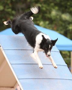 Cannot wait to own a border collie and do agility with it!