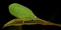 https://flic.kr/p/E6nBer | Leaf-mimicking katydid (1) | Photo from Vohimana…