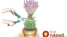 Rada skúseného pestovateľa, ako správne strihať levanduľu: Keď to urobíte podľa jeho tipu, bude krásna celé mesiace!