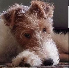 Chien Fox Terrier, Wirehaired Fox Terrier, Welsh Terrier, Terrier Dogs, Cute Puppies, Cute Dogs, Dogs And Puppies, Doggies, Wire Haired Terrier