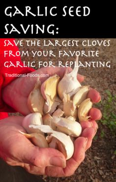 Garlic Seed Saving @ Traditional-Foods.com