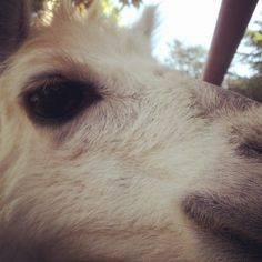 Alpacas have excellent eyesight to help them stay alert for danger. They have several vocalizations to communicate with in case of a threat. Rancho Las Lomas Wildlife Foundation.