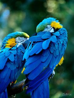 flowerling:  Blue and Yellow Macaw | AnotherSaru - Limited mode